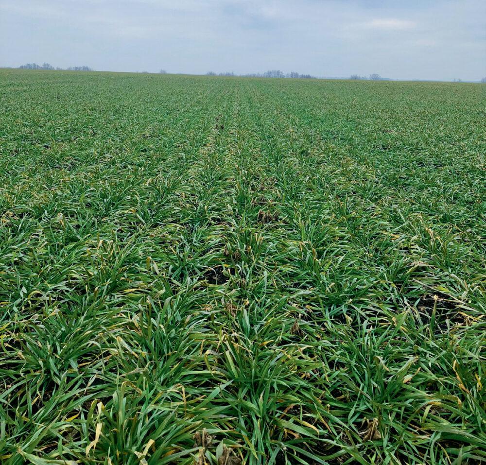 Про зменшення норм висіву пшениці