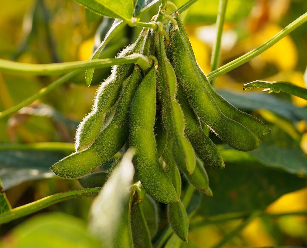 Повернення високих урожаїв: як удосконалити захист сої