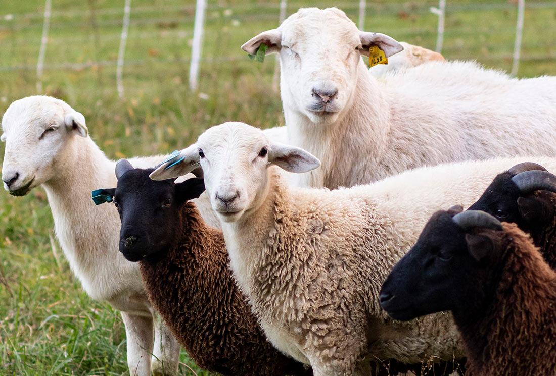 В Інституті аграрної економіки прогнозують зростання виробництва продукції тваринництва