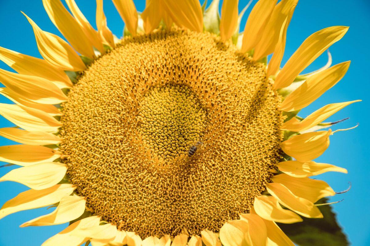 Здоров'я соняшнику за три кроки