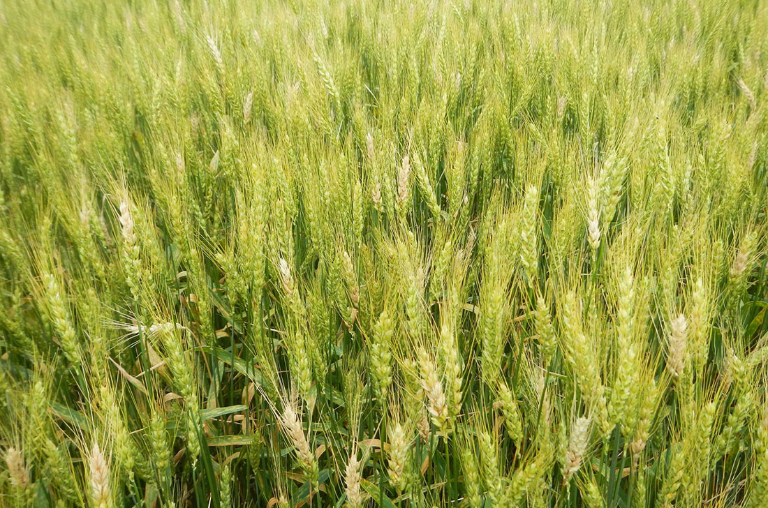 Ученые открыли белок, повышающий устойчивость пшеницы к фузариозу