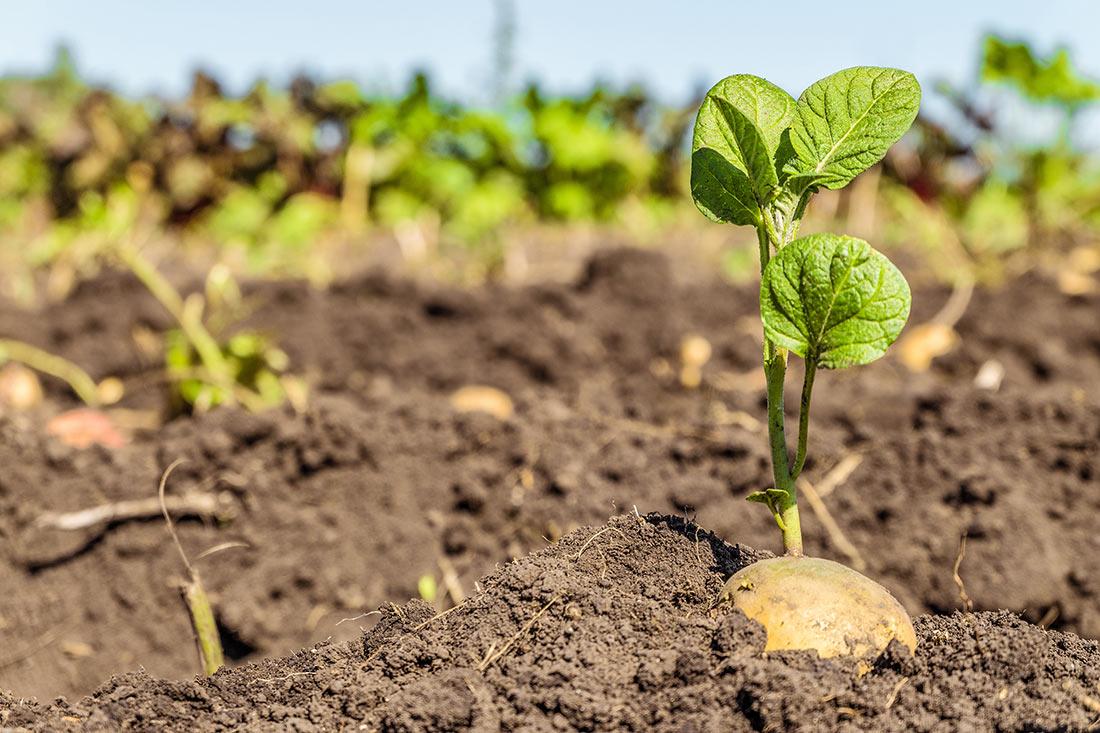 Китайские ученые заново вывели картофель для решения глобального продовольственного кризиса