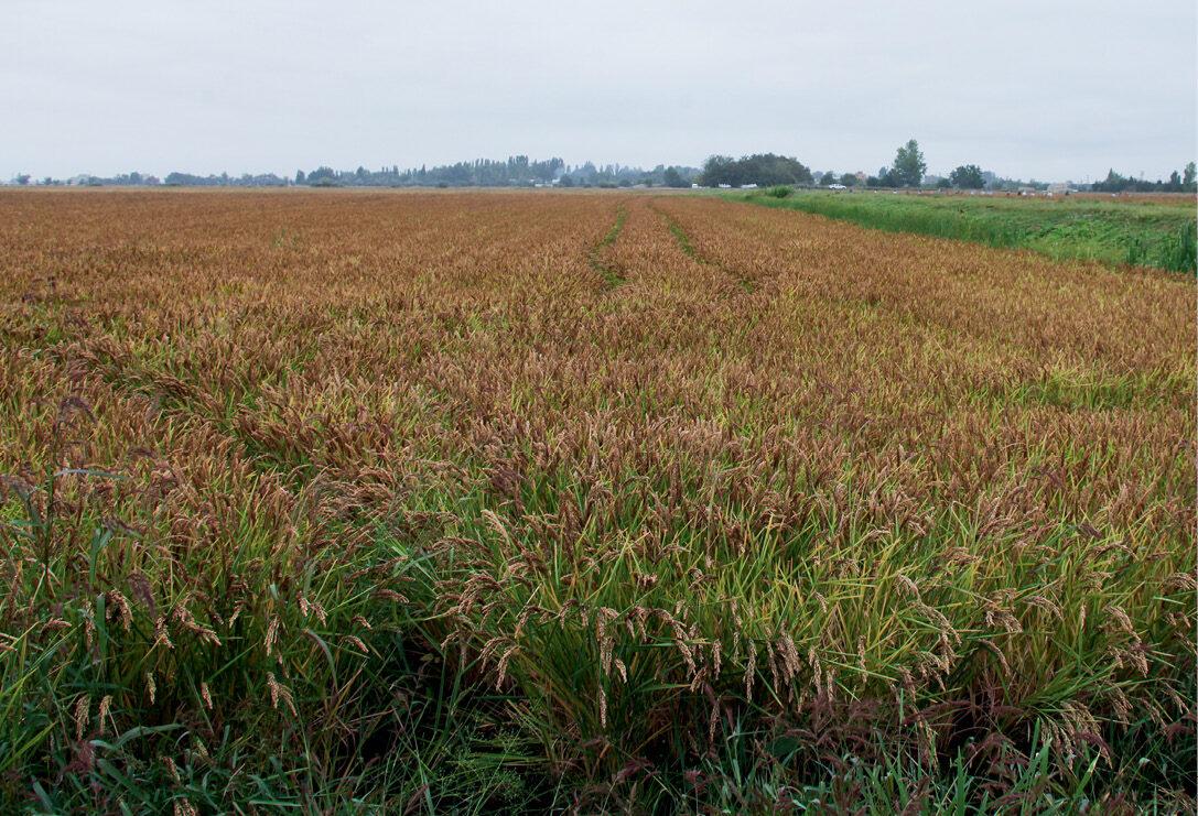 Рис під Полтавою