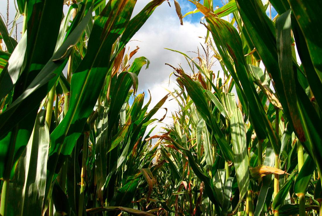 Ученые открыли способ, как бактерии проникают в растения кукурузы