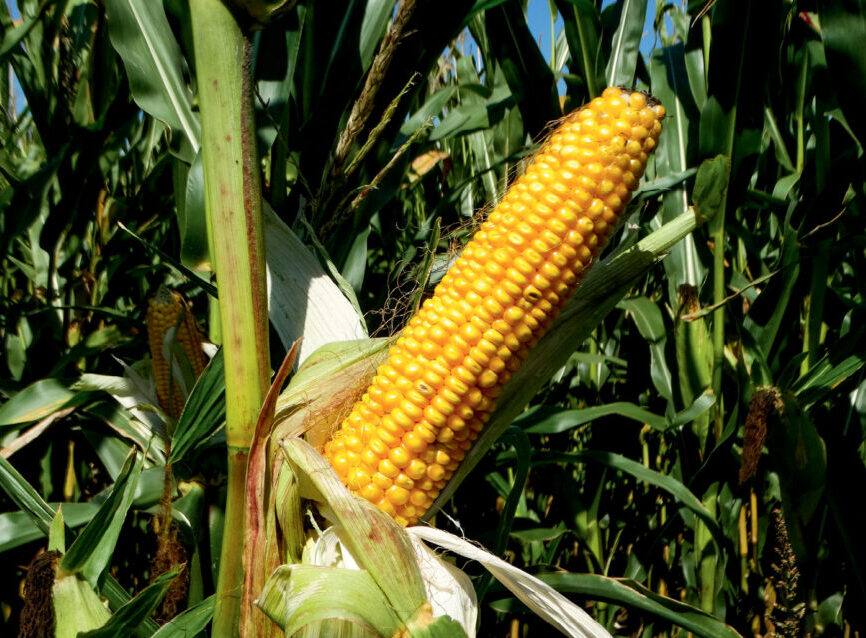 Живлення кукурудзи: чого потребує культура?