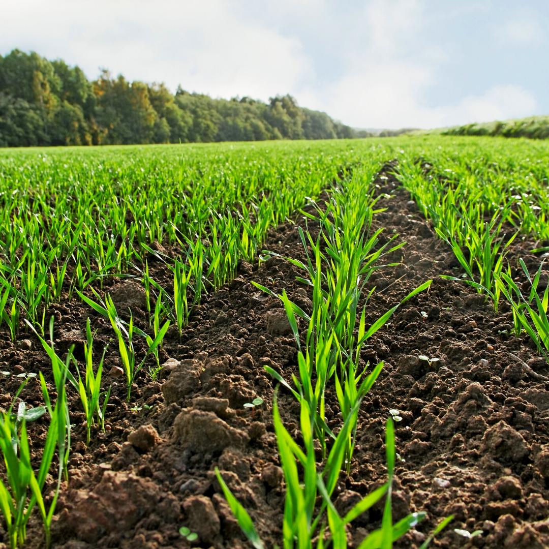 Інсектицидний захист озимих зернових в період осінньої вегетації