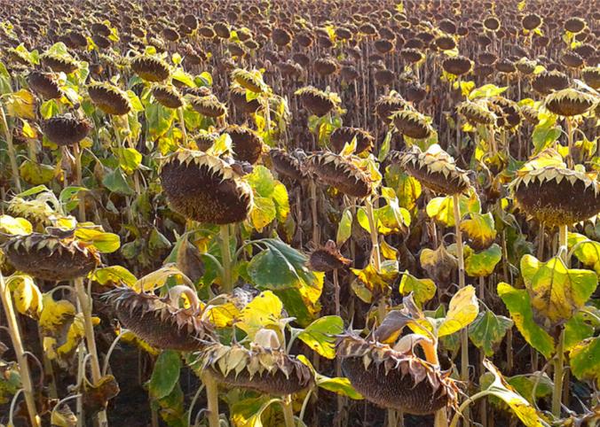 Десикація – невід'ємний елемент у вирощуванні соняшника