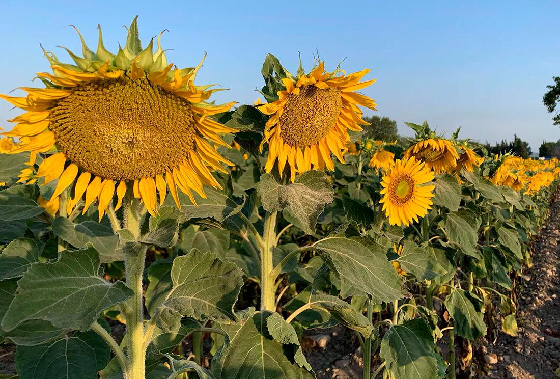 USDA прогнозирует в Украине хороший урожай подсолнечника