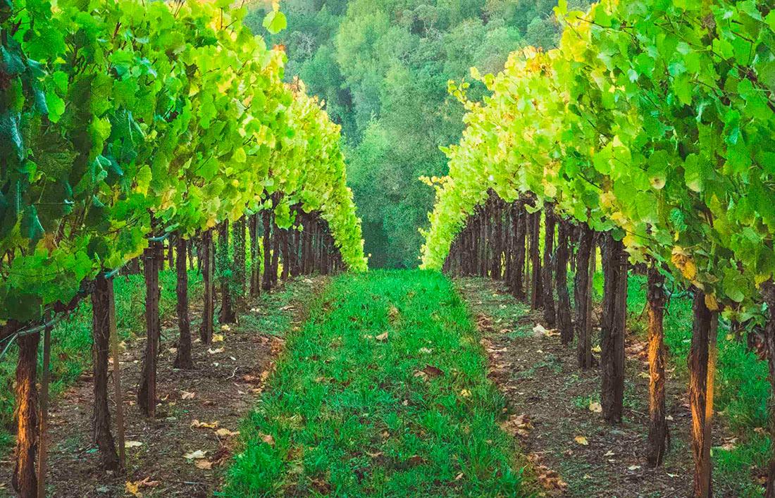 В Україні скоротилася площа виноградників