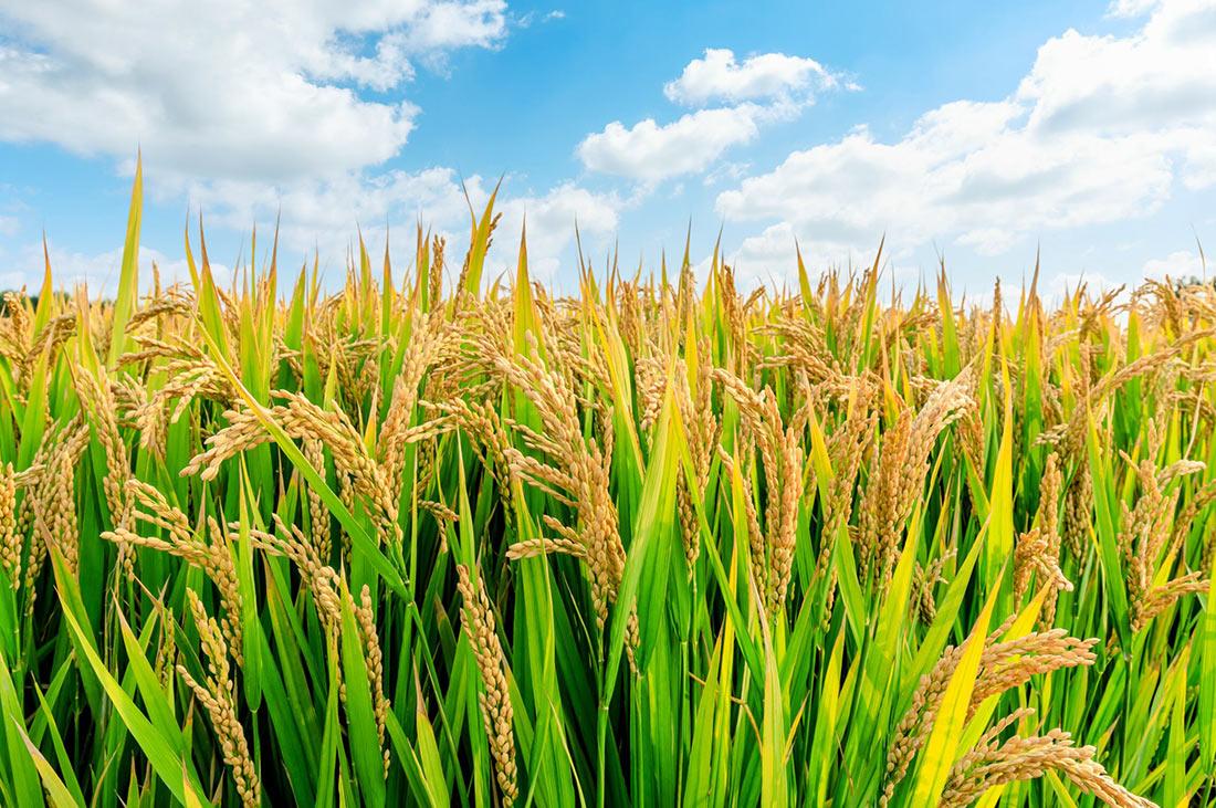 Корейські дослідники виявили фермент, що підвищує якість рисового зерна та врожайність