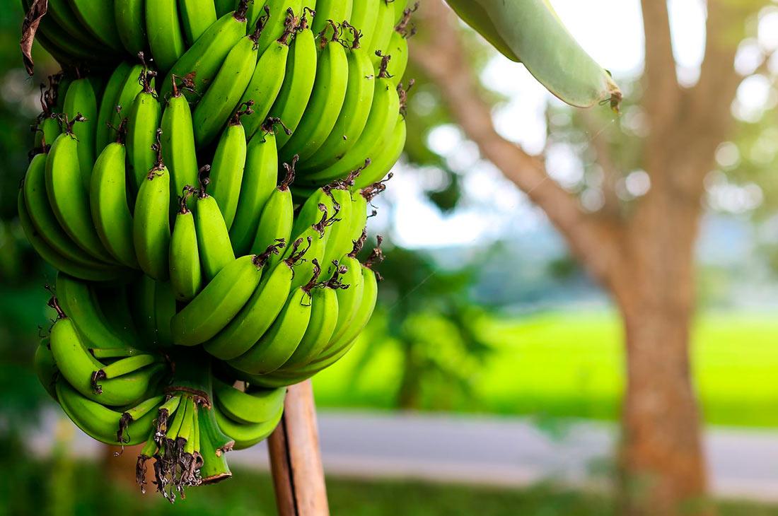 В Австралии разработали генетически модифицированные бананы, устойчивые к фузариозу