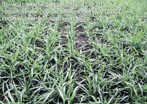 Фото 2. Пшеница озимая Богдана. Состояние посевов