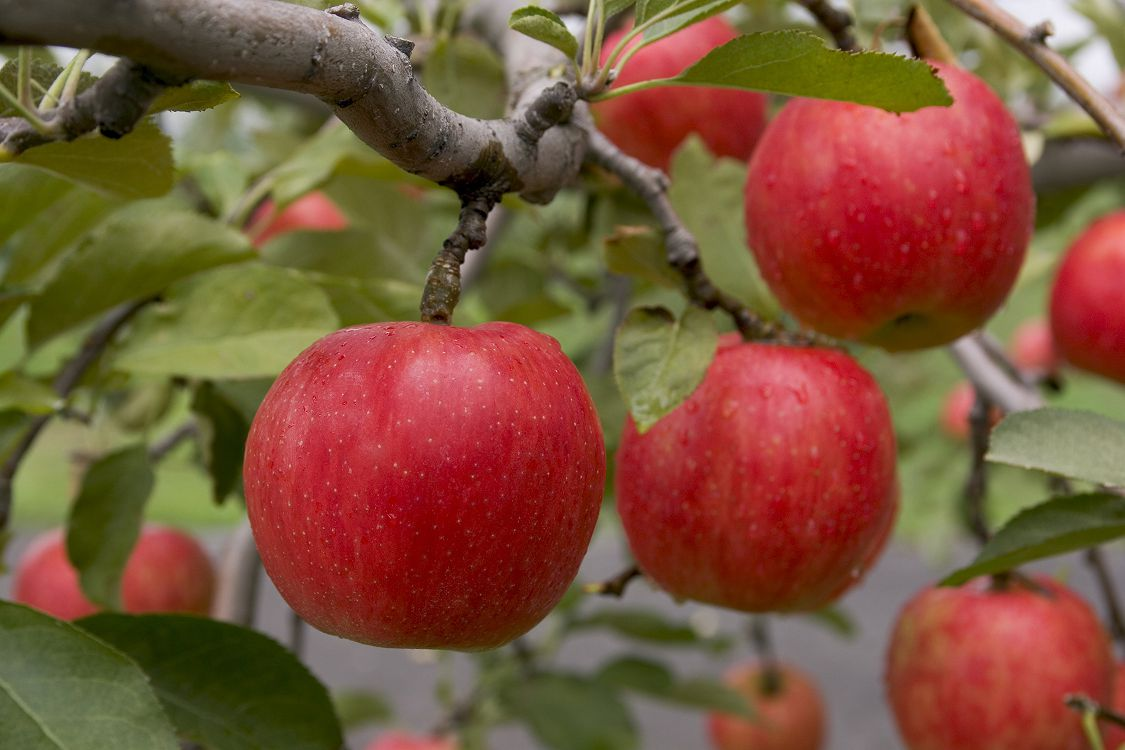Яблочные войны за рынок сбыта