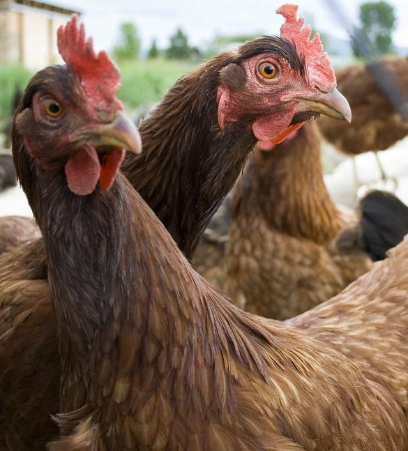 Цены на куриное мясо взлетели до небывалых высот