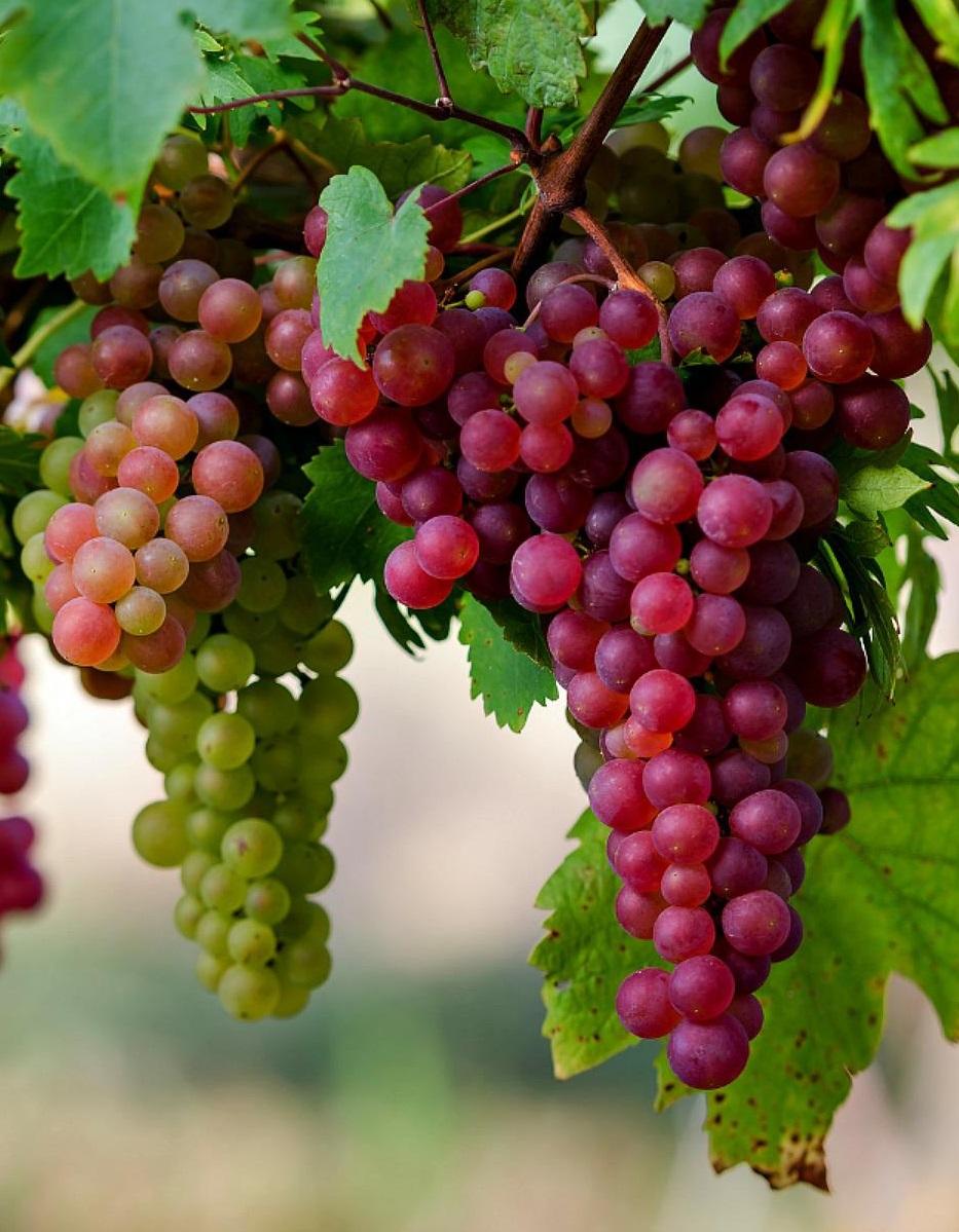 В Украине будет хороший урожай винограда