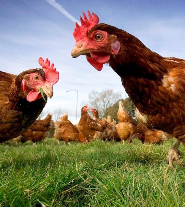 В Украине ввели запрет на импорт болгарской и венгерской птицы
