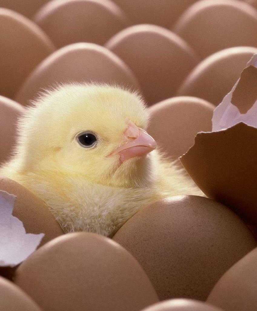 Ученые научились определять пол цыпленка спустя 4 дня