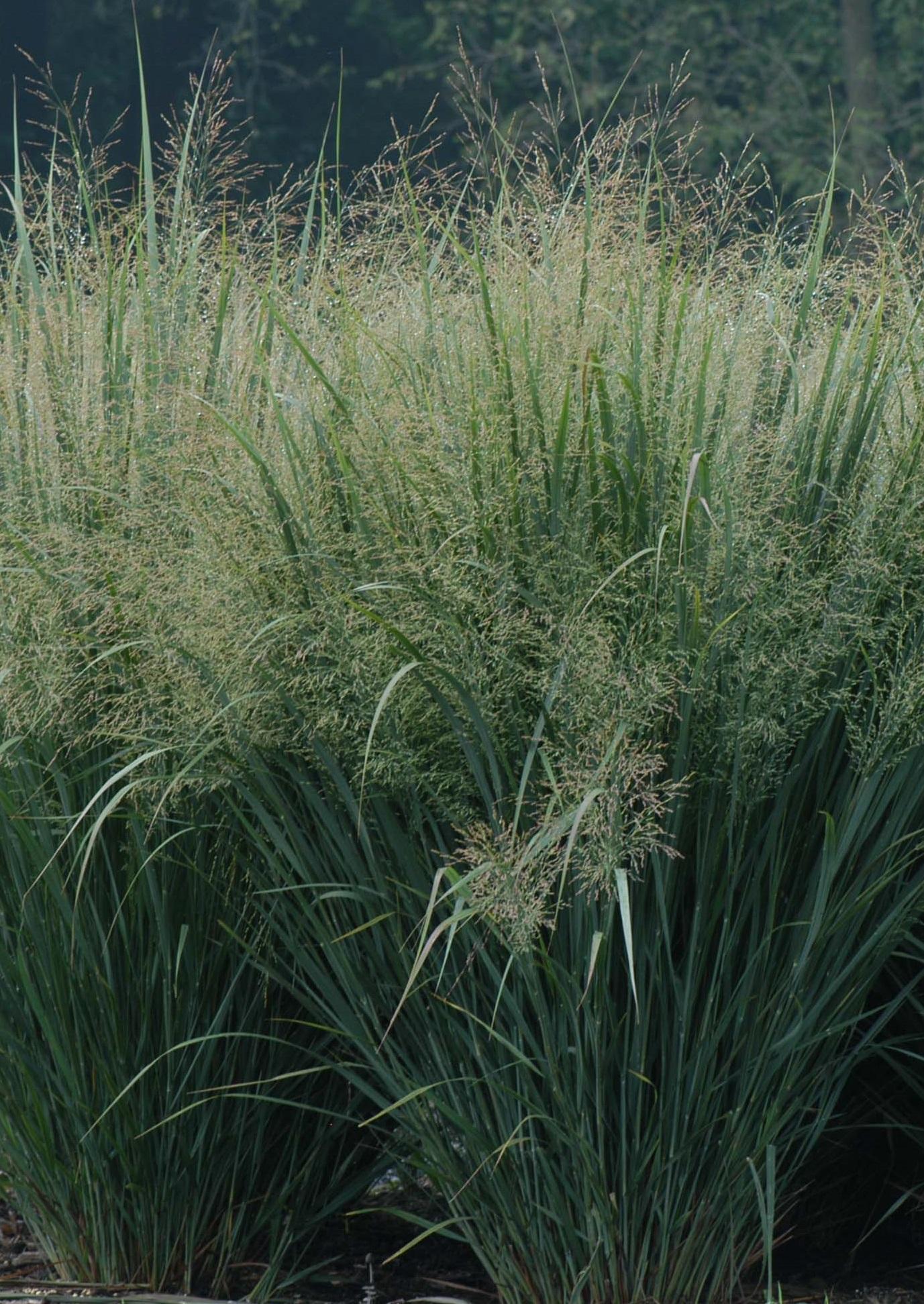 Ученые определили, что болезни пшеницы могут поражать и многолетние травы