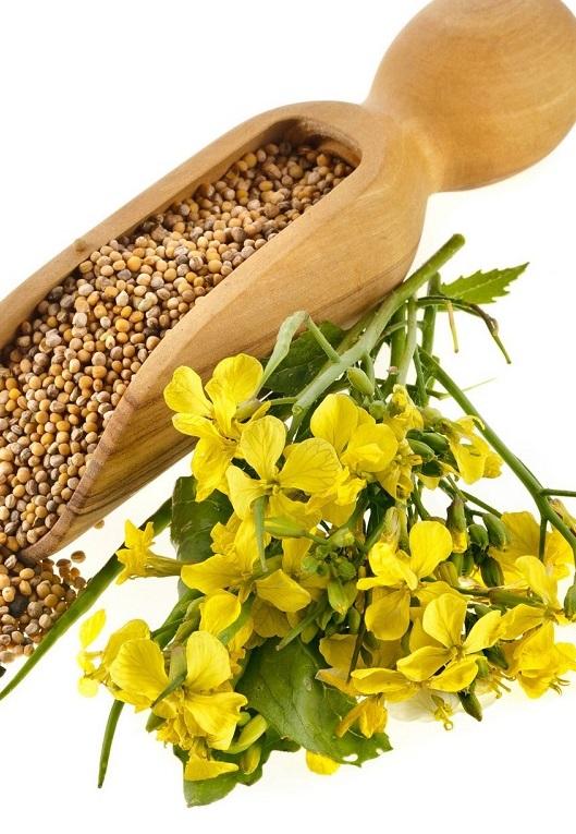 Украинские аграрии заинтересовались выращиванием горчицы