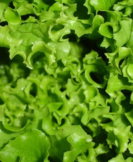 Дефицит листового салата спровоцировал сильнейший скачок цен