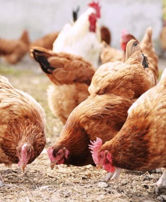 Возобновлены поставки украинской птицы в страны ЕС  (+ эпизоотическая ситуация по миру)