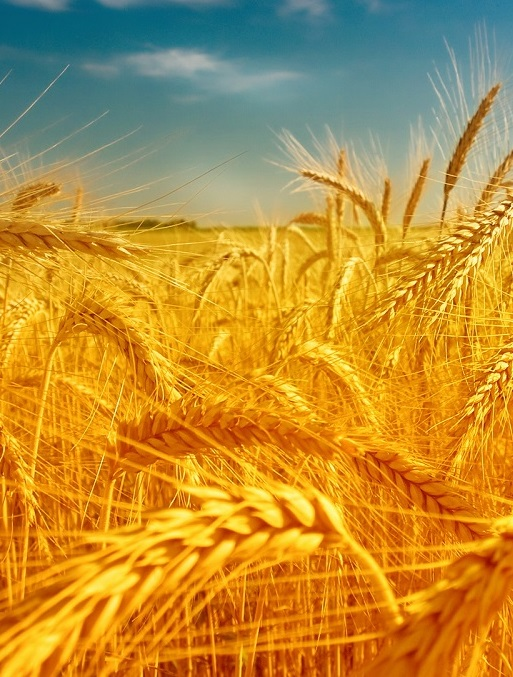 Эксперты FAO прогнозируют сокращение производства пшеницы
