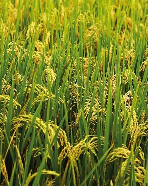 Ученые вывели устойчивый к засухе рис