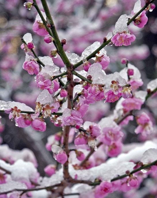 В этом году ожидается плохой урожай абрикос и вишен
