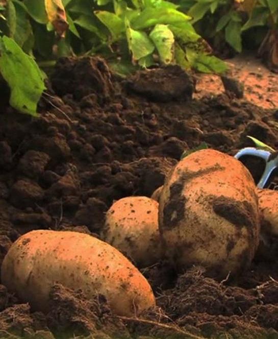 Появится картофель, способный расти на плохих почвах Земли и Марса
