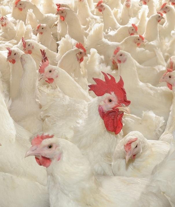 На фоне сокращения производства говядины и свинины в стране развивается птицеводство