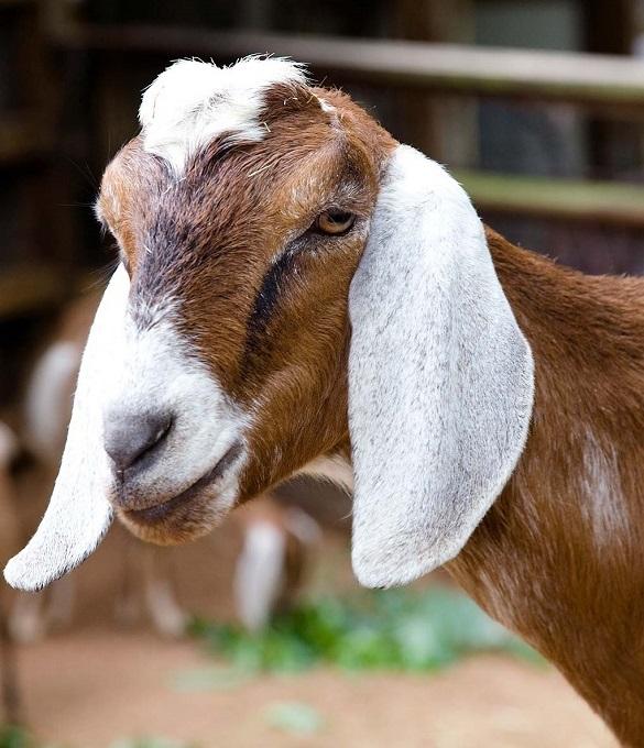 В Украине начали разводить англо-нубийских коз
