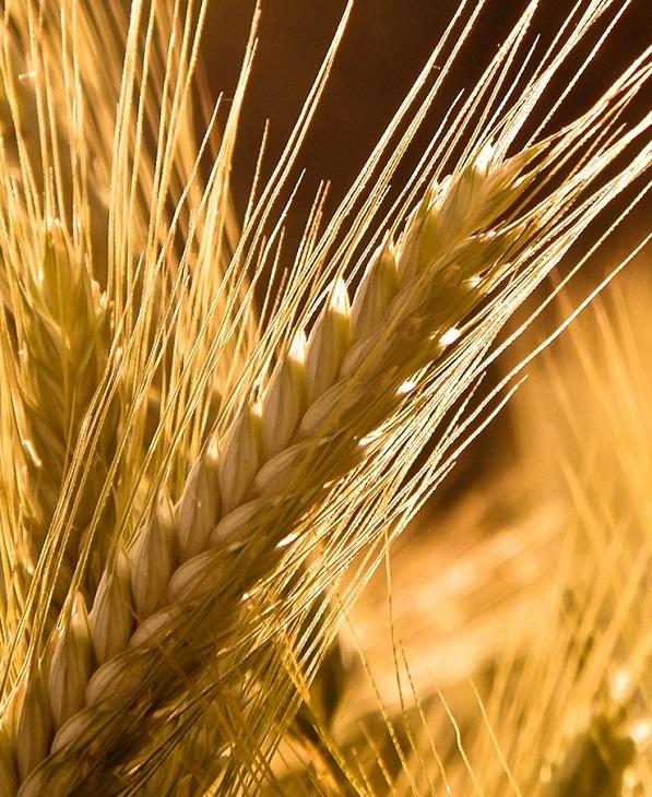Эксперты спрогнозировали снижение мирового производства зерна