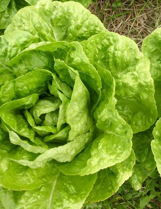 Наноматериалы на 50% увеличили урожайность салата латука