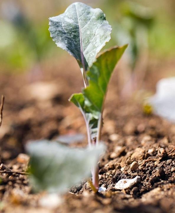 Ученые установили, что уксус помогает сельскохозяйственным культурам справляться с засухой