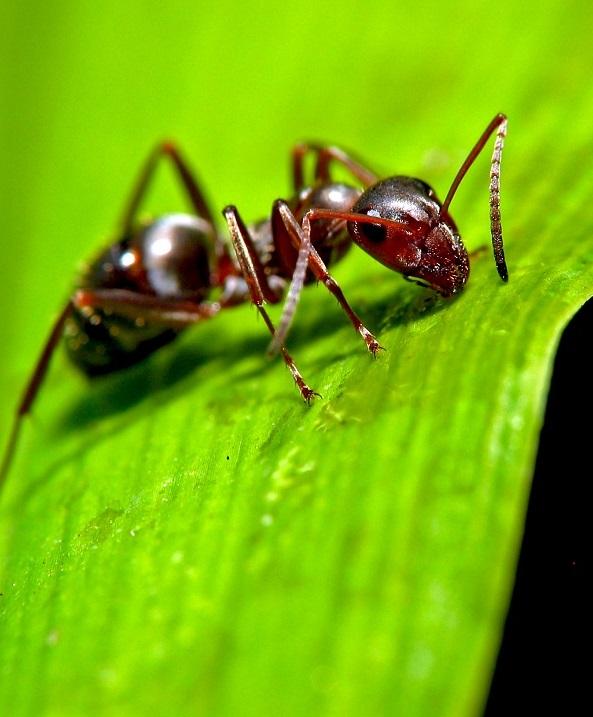 Выгодное сотрудничество: муравьи не только защищают, но и удобряют растения