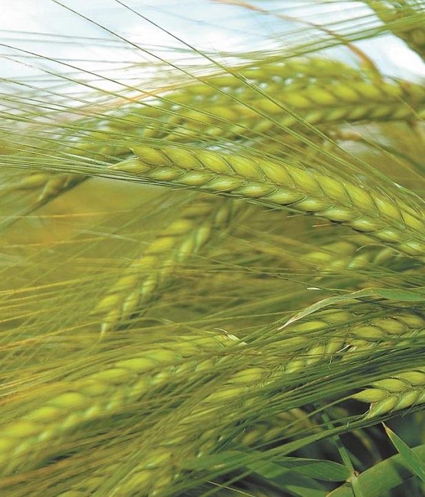 Зерна хватит на всех: в Украине зафиксированы рекордные показатели урожайности