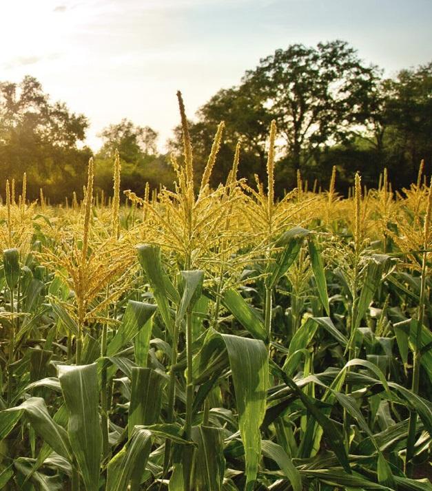 Минагрополитики прогнозирует крупнейший урожай