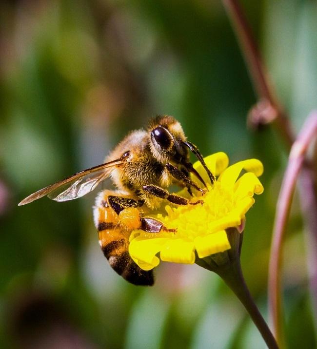 В Германии популяция пчел сократилась на 75%