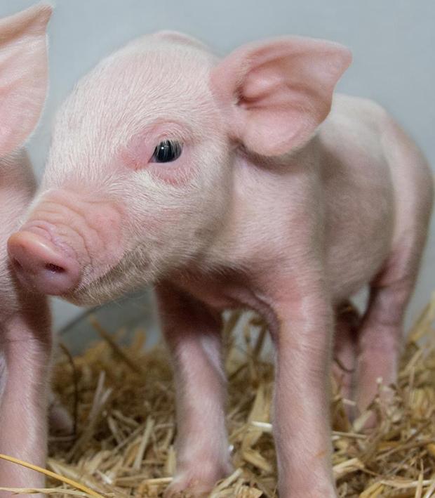 Во всех хозяйствах страны поголовье свиней значительно сократилось