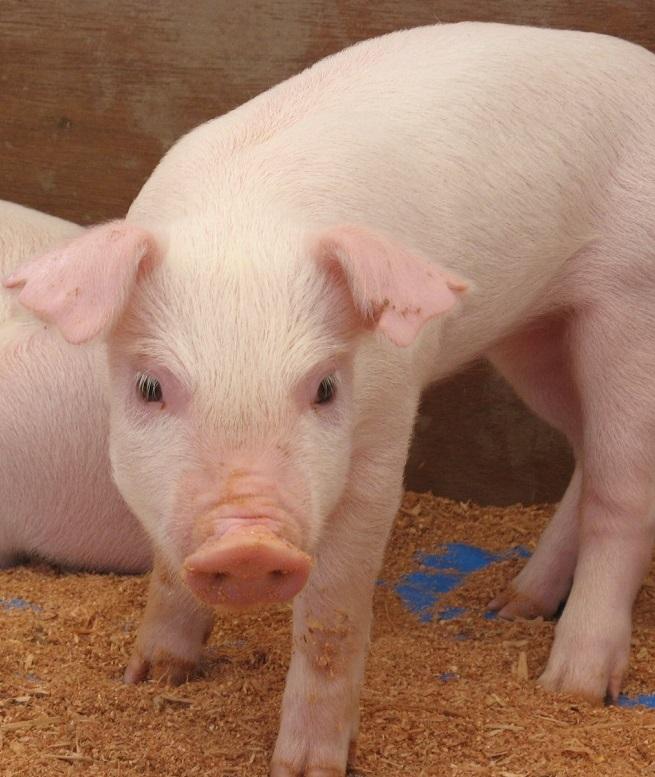 Мясо обезжиренных свиней — новый хит в промышленности