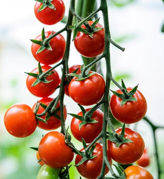 Ученые создали помидоры с повышенными антиоксидантными свойствами