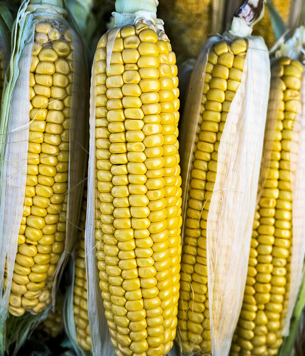 Украина незначительно сократит экспорт кукурузы