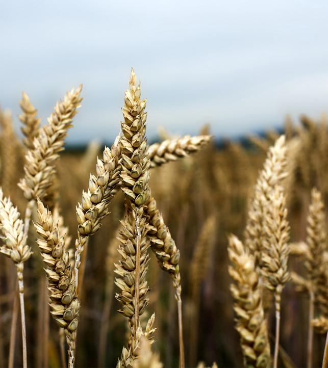 Урожай зерновых и зернобобовых составил свыше 55 млн тонн