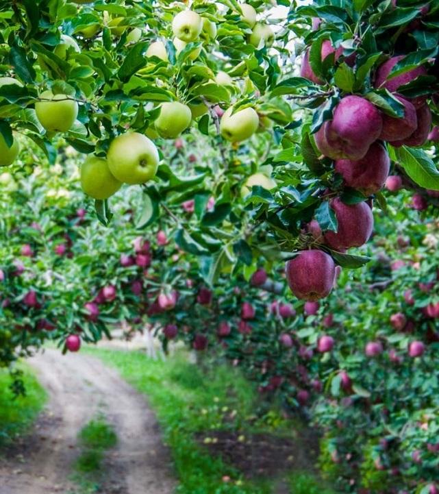 География «яблочного экспорта» постепенно расширяется