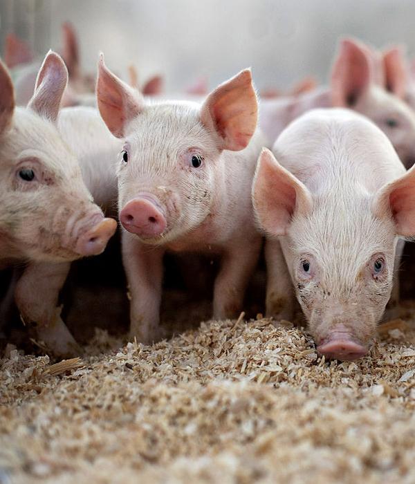 Китай серьезно наращивает производство свинины