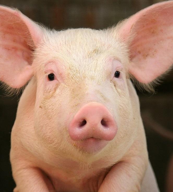 Количество случаев АЧС среди домашних свиней снижается