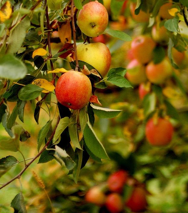Ученые вывели новый устойчивый сорт полезных для здоровья яблок