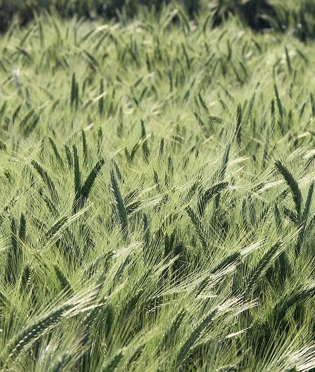 Урожай зерновых и зернобобовых составил 59,9 млн тонн