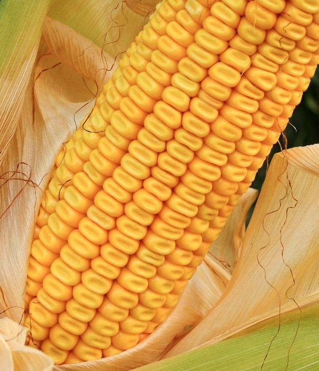 За кукурузу на экспорт в Китай можно получить премию