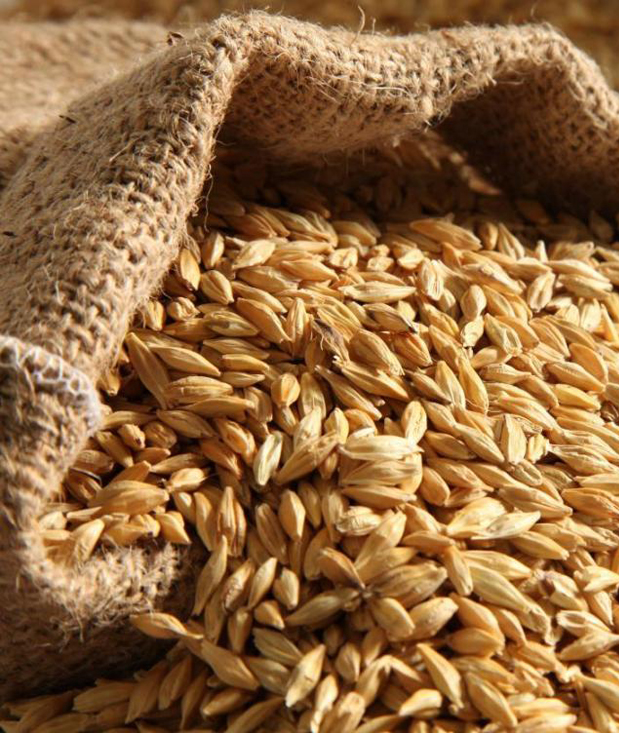 Кукуруза и ячмень — наиболее перспективные культуры